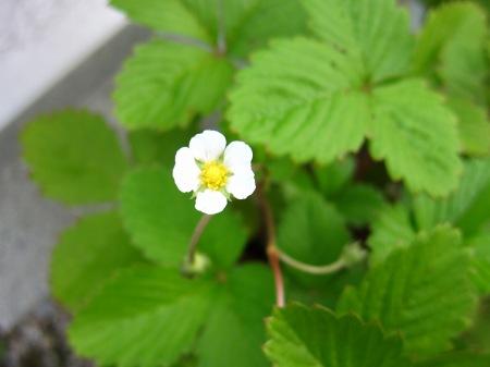 20100815_ワイルドストロベリーの花