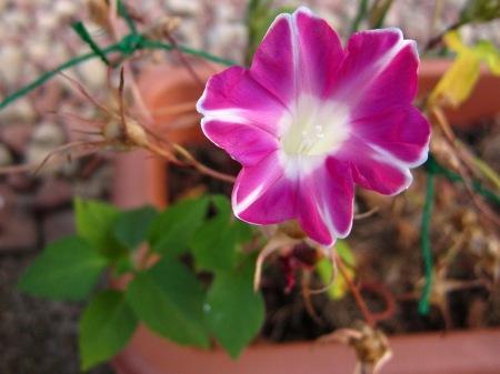 20100825_アサガオ(サンタカラーとヒマワリの葉)