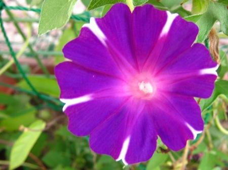 20100817_アサガオ(白柄赤紫)