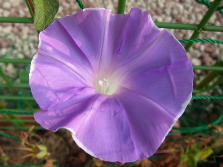 20100824_アサガオ(薄紫)