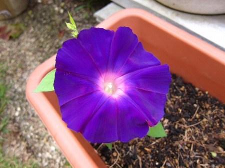 20100924_アサガオ(濃紫)