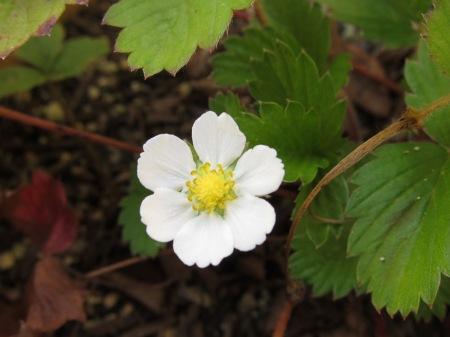 20100925_ワイルドストロベリーの花