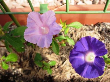 20100925_アサガオ(薄紫濃紫)