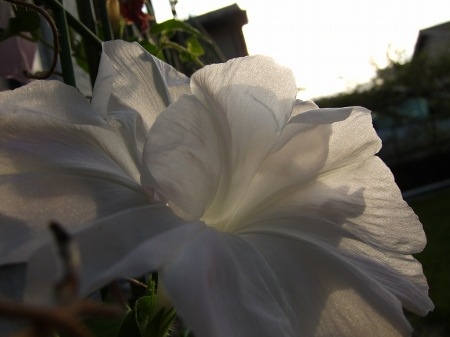 20101001_アサガオ(白)100927