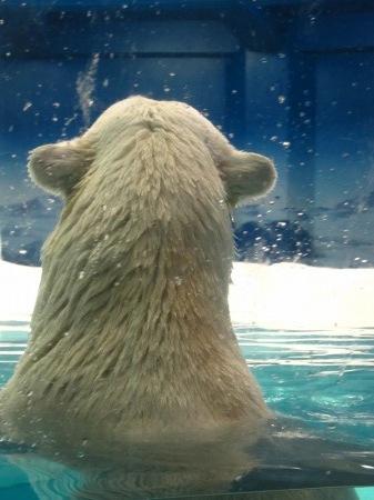 20101004_白クマの親3