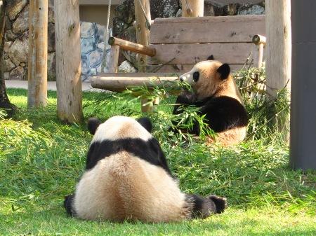 20101004_ふたごのパンダ2歳1