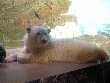20101004_白クマの子供1