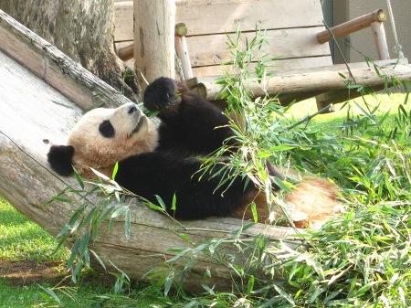 20101004_ふたごのパンダ2歳6