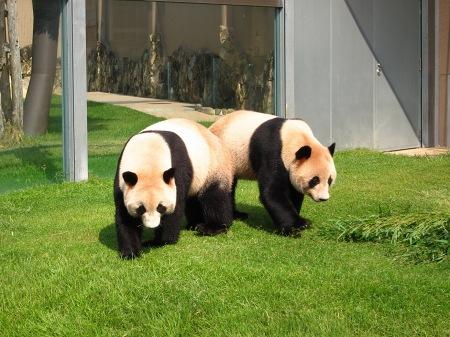 20101004_ふたごのパンダ3歳1
