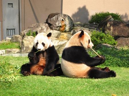 20101004_ふたごのパンダ3歳2