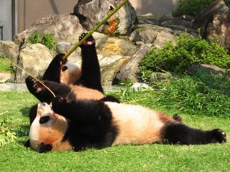 20101004_ふたごのパンダ3歳3