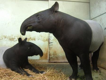 20101010_安佐動物公園14-マレーバク