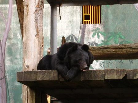 20101010_安佐動物公園16-ツキノワグマ