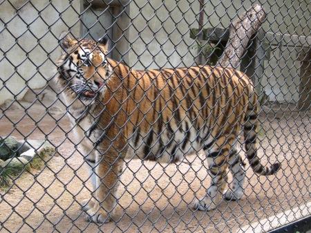 20101010_安佐動物公園17-トラ