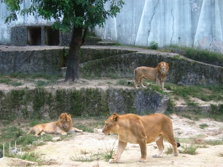 20101010_安佐動物公園18-ライオン