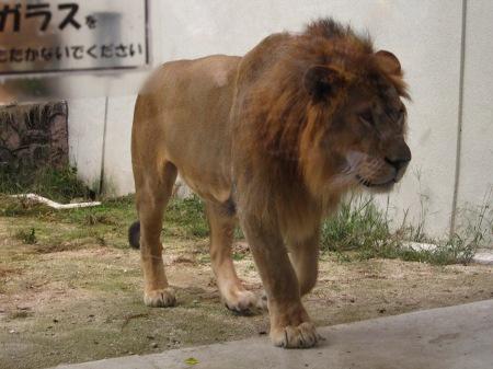 20101010_安佐動物公園19-ライオン