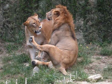 20101010_安佐動物公園22-ライオン