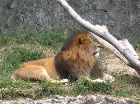 20101010_安佐動物公園23-ライオン