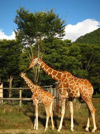 20101010_安佐動物公園7-キリン親子
