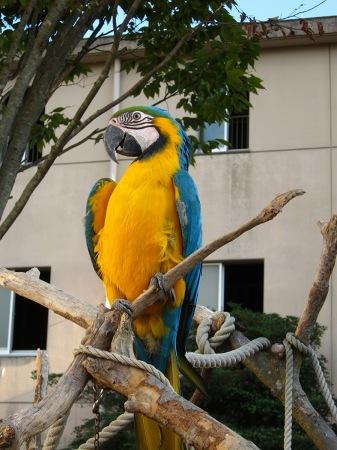 20101010_安佐動物公園9-ルリコンゴウインコ
