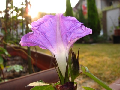 20101108_アサガオ