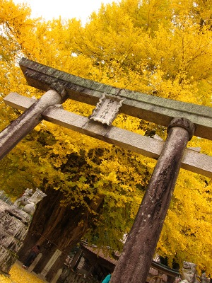 20101113_筒賀の大銀杏2