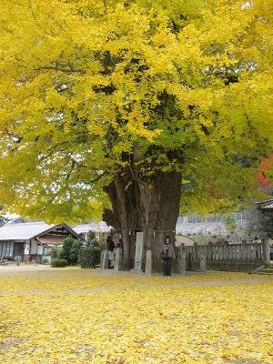 20101113_筒賀の大銀杏8
