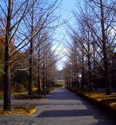 20101203_修道大学の銀杏並木(冬)-v