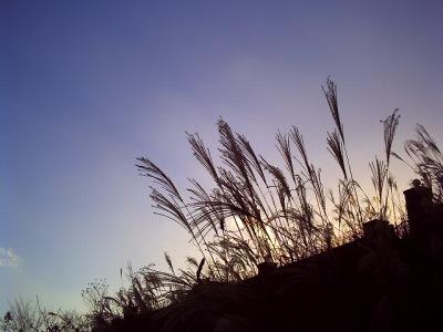 20101203_すすき-v