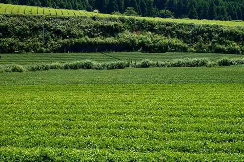 250910 茶畑1