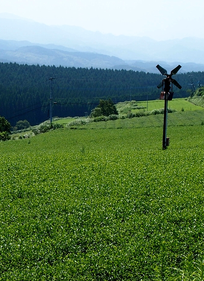 250910 茶畑2