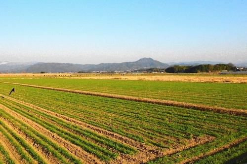 260129 麦畑11
