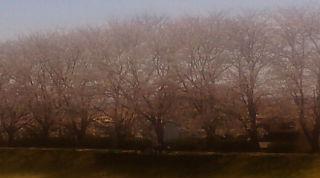 桜 ランニング時