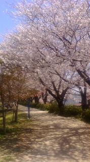 桜 ランニング時2
