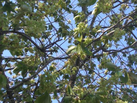 緑桜 006