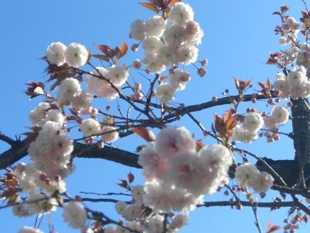 緑桜 009