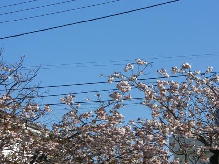 緑桜 010