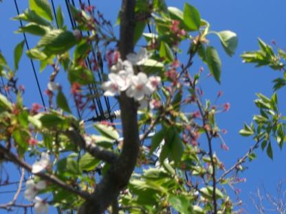 緑桜 014