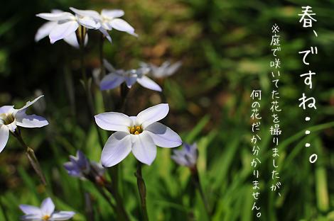 この花、この前雑草と間違われて引っこ抜かれました・・・