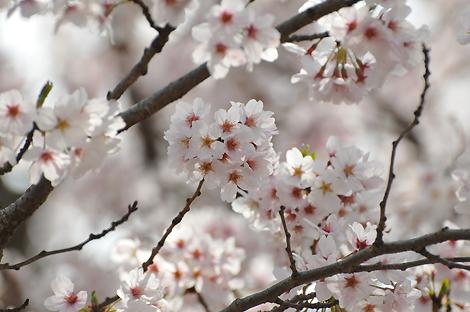 葉桜のほうが、ワタシは好きです。