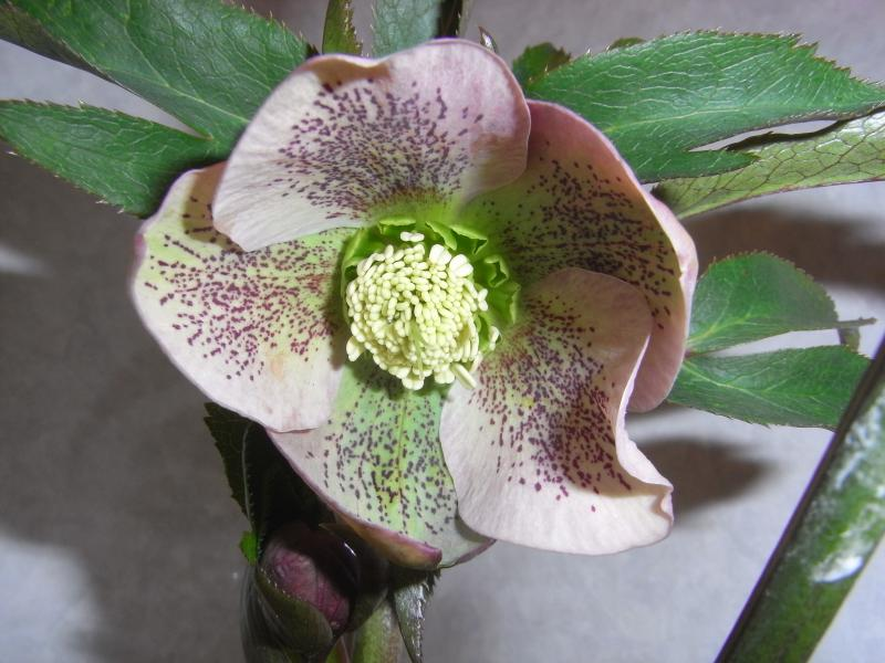 Christmas rose   hybrid