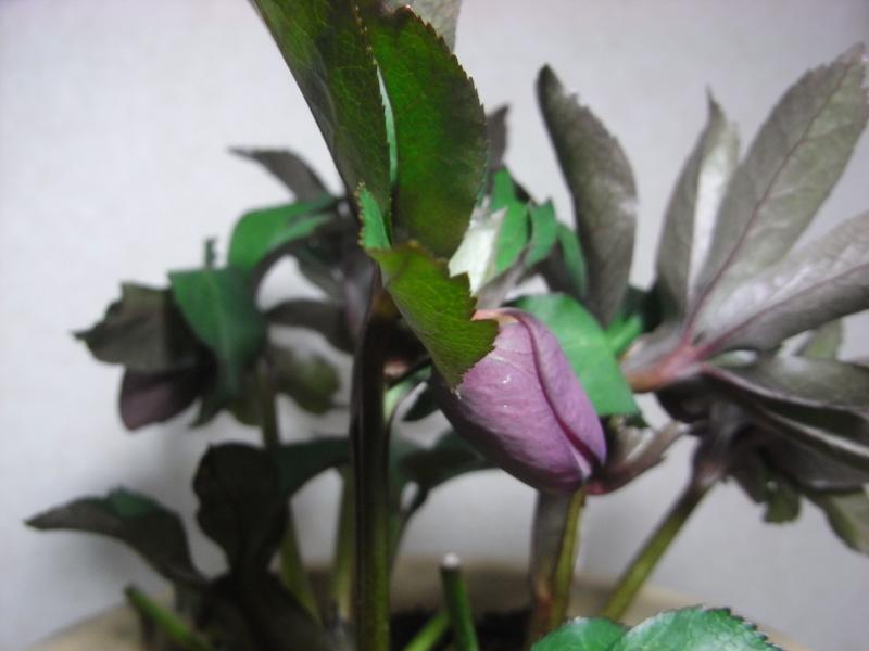 Christmas rose  ルーセローズ