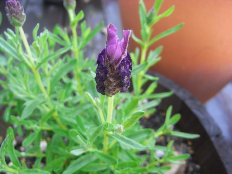 Flench lavender