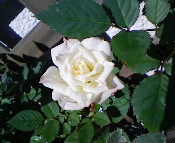 雨上がりの白バラ