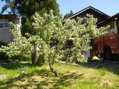 アイスプラント植え付け1536