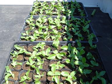 アイスプラント植え付け1537
