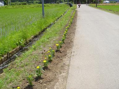 部落花植え1596