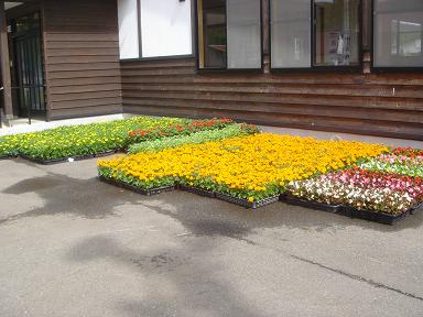 部落花植え1593