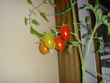 tomato1349.jpg
