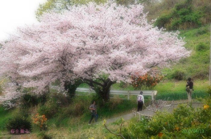 桜の撮影会